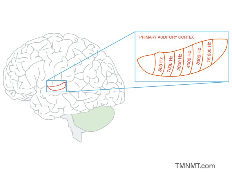 Tonotopic map auditory cortex